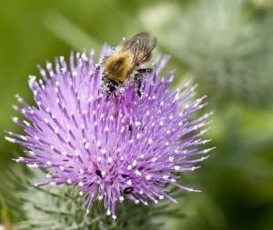 DSC_6967 Bee