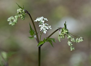 DSC_5855 Cow Parsley
