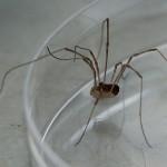 DSC_5871 Harvest Spider