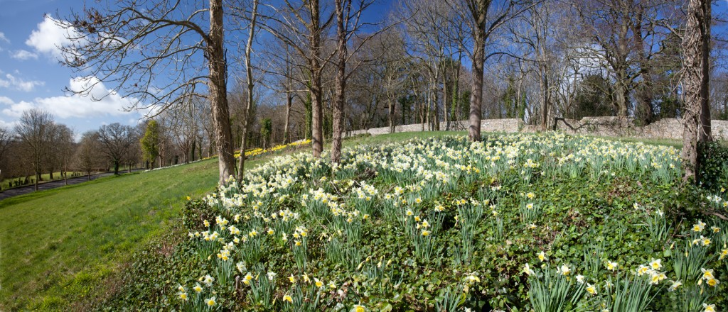 Daffodils abound below the viewing terrace and old Inn overlooking Shirehampton Road.