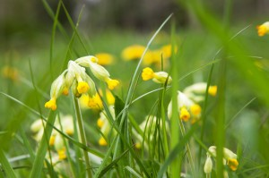 Cowslips on Kingsweston Hill