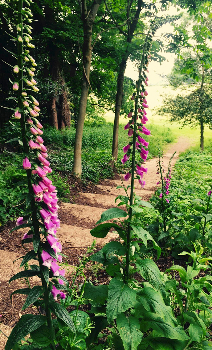 Foxgloves planted last year flowering beside the recently revealed WWII concrete steps