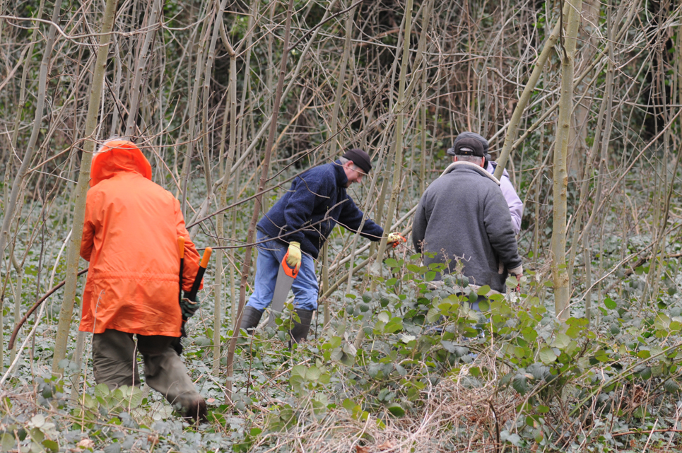 KWAG volunteers woking to remove self seeded saplings in Jan 2012